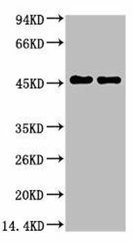 Anti-GFAP Antibody MACO0033