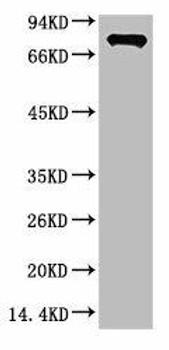 Anti-Luciferase Antibody MACO0403