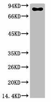 Anti-Luciferase Antibody MACO0404