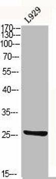 CD9 Antibody PACO06332