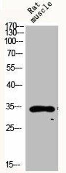 CYC1 Antibody PACO06408