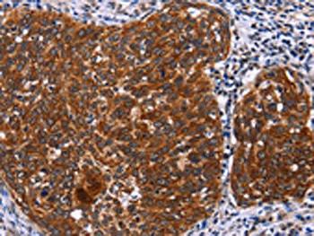 USP2 Antibody PACO15603