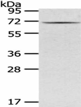 GAD1 Antibody PACO18954