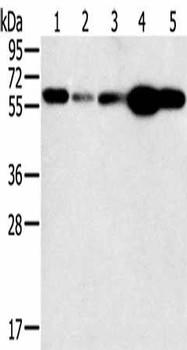 PTGER2 Antibody PACO20276