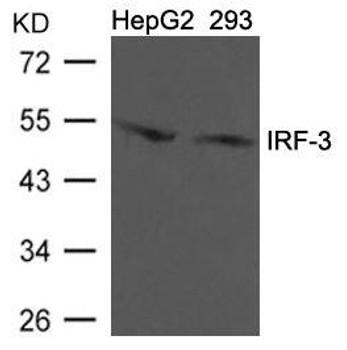 IRF3 Ab-396 Antibody PACO21334
