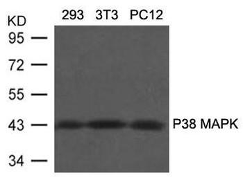 MAPK11 Ab-180/182 Antibody PACO21337