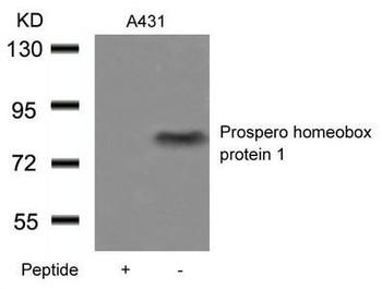 PROX1 Antibody PACO21425