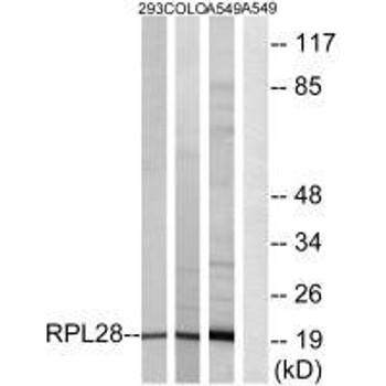 RPL28 Antibody PACO22102