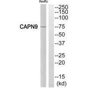 CAPN9 Antibody PACO22219