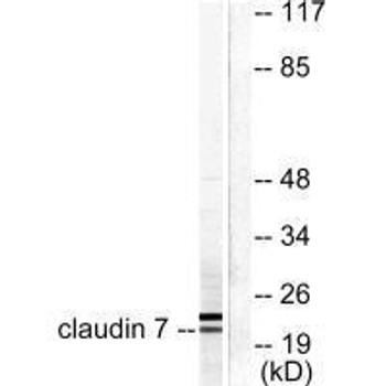 CLDN7 Antibody PACO23097