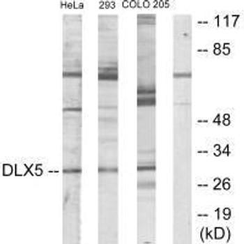 DLX5 Antibody PACO23233