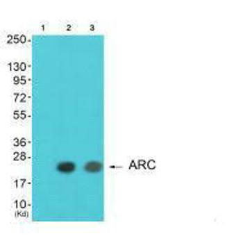 ARC Antibody PACO23635