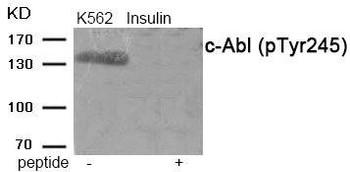 Phospho-ABL1 Tyr245 Antibody PACO24073