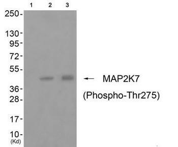 Phospho-MAP2K7 Thr275 Antibody PACO24116