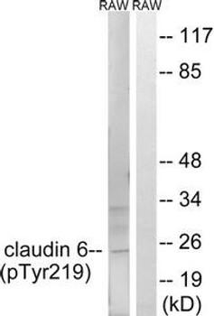 Phospho-CLDN6 Tyr219 Antibody PACO24149