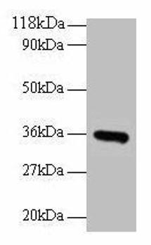 CYC1 Antibody PACO28422