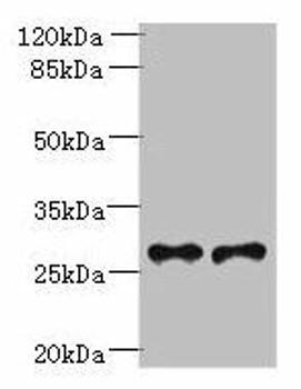 Trem2 Antibody PACO30798