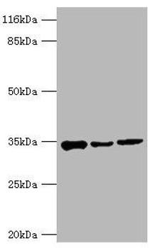 AQP4 Antibody PACO32960