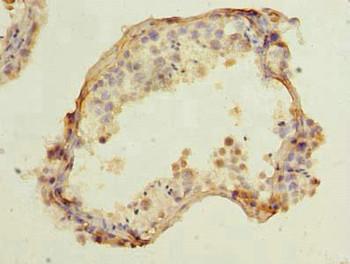 CCDC42 Antibody PACO39006