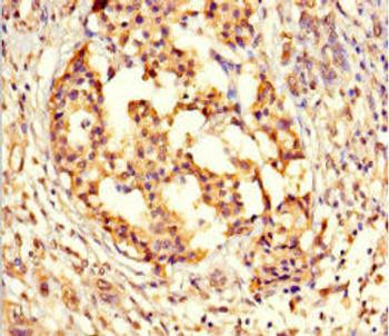 GPX8 Antibody PACO39490