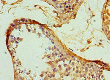 SERPINH1 Antibody PACO42954