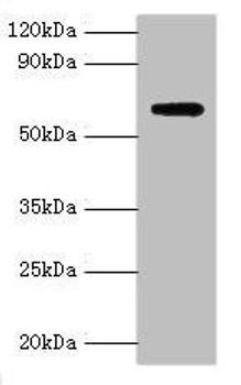 AMHR2 Antibody PACO43062