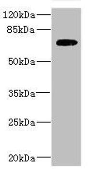 SLC2A13 Antibody PACO45272