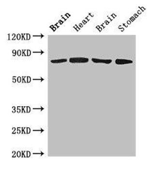 SLCO1B1 Antibody PACO51254