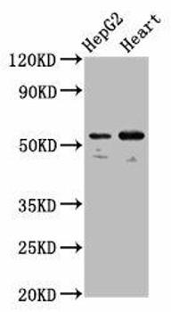 LMAN1 Antibody PACO56876