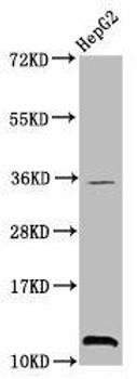 Tri-methyl-HIST1H4A K20 Antibody PACO58637