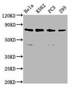 INTS13 Antibody PACO59393