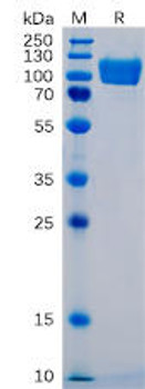 Human ICAM-1 Recombinant Protein mFc Tag HDPT0049