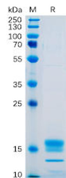 Human GITR Ligand Recombinant Protein His Tag HDPT0090