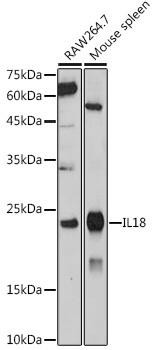 Cell Biology Antibodies 15 IL18 Rabbit pAb CAB20473