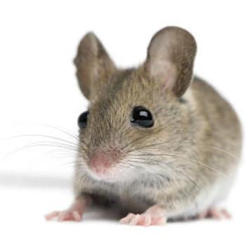 Mouse Neuroscience ELISA Kits Mouse E3 ubiquitin-protein ligase UBR1 Ubr1 ELISA Kit