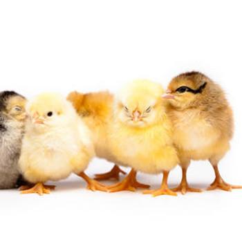 Chicken ELISA Kits Chicken Mineralocorticoid receptor NR3C2 ELISA Kit