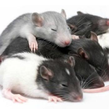 Rat Cell Biology ELISA Kits 1 Rat Mucin-2 Muc2 ELISA Kit