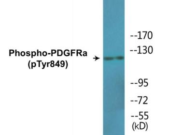 PDGFRa Phospho-Tyr849 Colorimetric Cell-Based ELISA Kit
