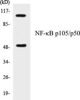Cell Death NF-kappaB p105/p50 Colorimetric Cell-Based ELISA Kit