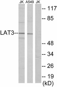 Signal Transduction LAT3 Colorimetric Cell-Based ELISA
