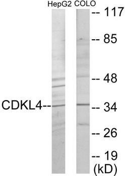 CDKL4 Colorimetric Cell-Based ELISA