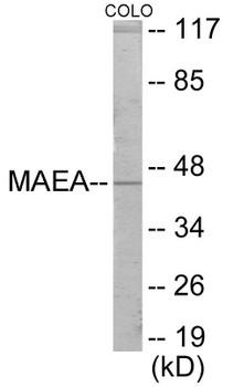 Cell Cycle ELISA Kits MAEA Colorimetric Cell-Based ELISA