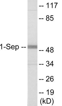 Cell Cycle ELISA Kits SEPT1 Colorimetric Cell-Based ELISA