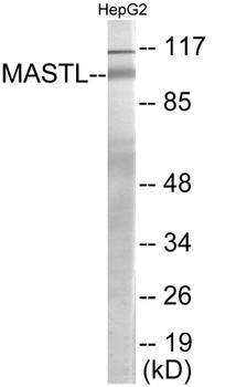 Cell Cycle ELISA Kits MASTL Colorimetric Cell-Based ELISA