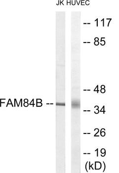 FAM84B Colorimetric Cell-Based ELISA