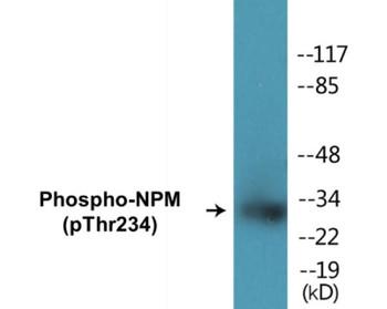 NPM Phospho-Thr234 Colorimetric Cell-Based ELISA Kit