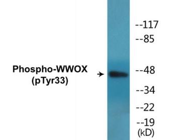 WWOX Phospho-Tyr33 Colorimetric Cell-Based ELISA Kit