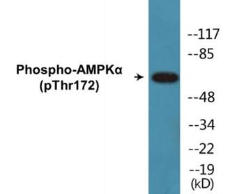 AMPKalpha Phospho-Thr172 Fluorometric Cell-Based ELISA Kit