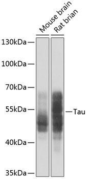 Cell Biology Antibodies 1 Anti-Tau Antibody CAB0002