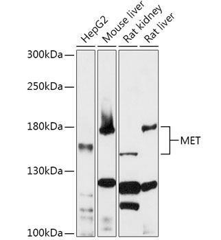 Cell Biology Antibodies 1 Anti-MET Antibody CAB0040